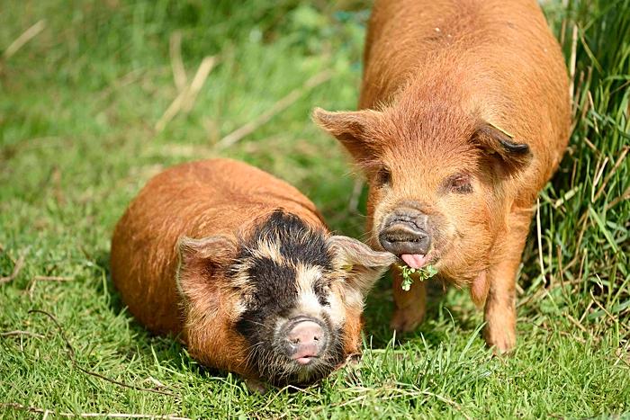 varkens achter schrikdraad in de weide