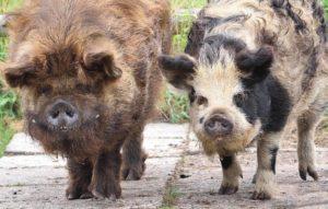 kunekune boars
