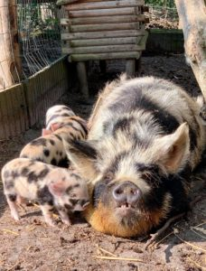 Sow and piglets kune kune
