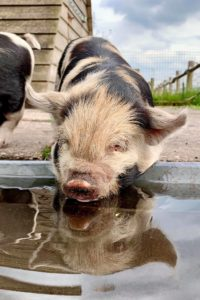 Reflection kune kune piglet