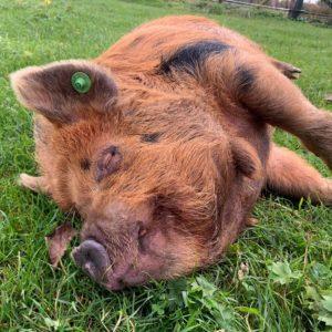 Kunekune boar sleeping