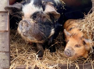 Sow and gilt kune kune