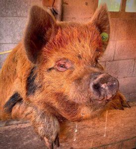 Kunekune boar ginger