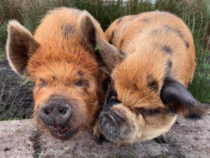 Boar and sow kunekune