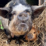 Old kunekune sow and piglet