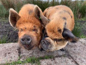 kunekune boar and sow