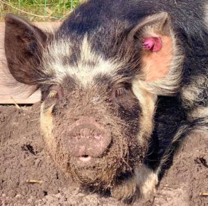 Pig digging