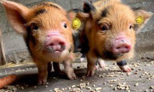 Piglets kune kune
