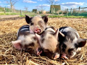 Pile of piglets
